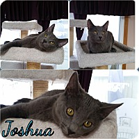Adopt A Pet :: Joshua - Central Islip, NY