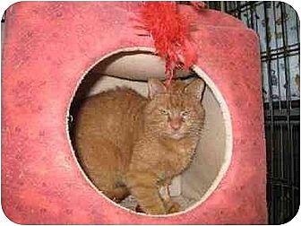 Domestic Shorthair Cat for adoption in Trexlertown, Pennsylvania - Friskie