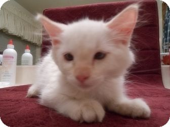 Domestic Longhair Kitten for adoption in Phoenix, Arizona - SNOWFLAKE