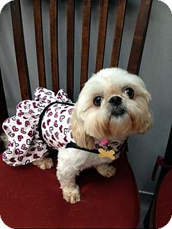 Shih Tzu Dog for adoption in Los Angeles, California - CHERUB
