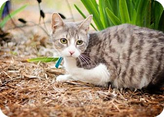 American Shorthair Kitten for adoption in San Antonio, Texas - Edward