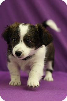 Chihuahua Mix Puppy for adoption in Broomfield, Colorado - Pirate