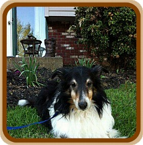Sheltie, Shetland Sheepdog Dog for adoption in COLUMBUS, Ohio - McFlurry