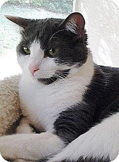 Domestic Shorthair Cat for adoption in Homosassa, Florida - Catherine