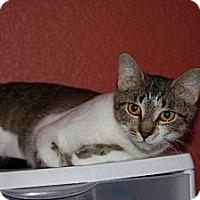 American Shorthair Cat for adoption in Gilbert, Arizona - Cali