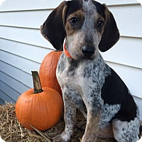 Adopt A Pet :: Orange Boy - Zanesville, OH