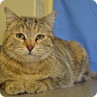 Domestic Shorthair Cat for adoption in Larned, Kansas - Joy