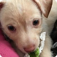 Adopt A Pet :: Zander aka Bailey - Las Vegas, NV