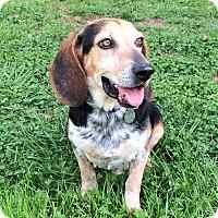 Adopt A Pet :: Ajax - PORTLAND, ME
