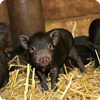 Adopt A Pet :: Baby Potbelly Pigs - Roanoke, VA