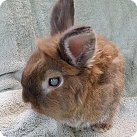 Lionhead Mix for adoption in Montclair, California - Teddy Bear