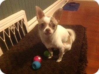 Chihuahua Dog for adoption in Dayton, Ohio - Jack - Chicago, IL