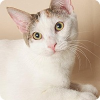 Adopt A Pet :: Pippi (Long -Stocking) - Gilbert, AZ