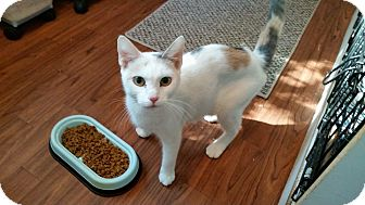 Calico Cat for adoption in Ashland, Ohio - Nalla