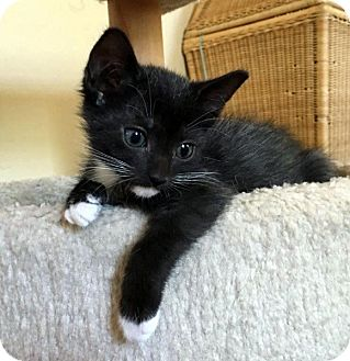 Domestic Shorthair Kitten for adoption in North Las Vegas, Nevada - Sade