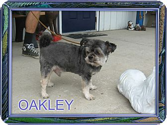 Shih Tzu/Poodle (Miniature) Mix Dog for adoption in Port Clinton, Ohio - OAKLEY