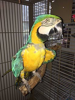 Macaw for adoption in Punta Gorda, Florida - Buffy