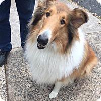 Adopt A Pet :: Lilly - Chantilly, VA