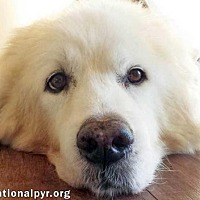 Adopt A Pet :: Snow - new! - Beacon, NY