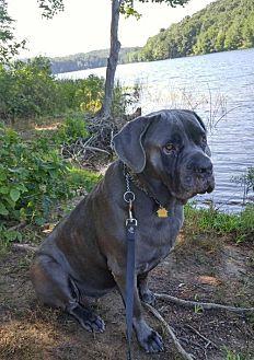 Mastiff/Cane Corso Mix Dog for adoption in Silver Spring, Maryland - Althea