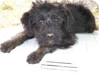 Poodle (Miniature)/Wirehaired Fox Terrier Mix Puppy for adoption in Sealy, Texas - Marlin