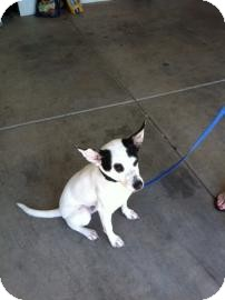 Australian Cattle Dog Mix Dog for adoption in Tucson, Arizona - Bobo