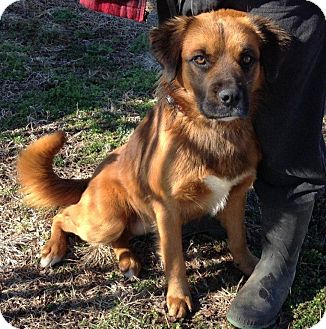 Shepherd (Unknown Type)/Retriever (Unknown Type) Mix Dog for adoption in Russellville, Kentucky - Doug