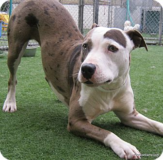 Catahoula Leopard Dog/American Pit Bull Terrier Mix Dog for adoption in San Francisco, California - Sis