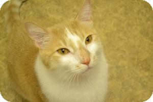 Domestic Shorthair Cat for adoption in Kelso/Longview, Washington - Jake