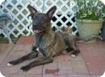 Mountain Cur/Shepherd (Unknown Type) Mix Dog for adoption in Jackson, Mississippi - Dawn Marie