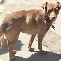 Adopt A Pet :: Chaplin - MEET ME - Norwalk, CT