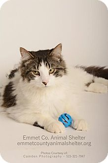 Domestic Longhair Cat for adoption in Estherville, Iowa - ZiZi