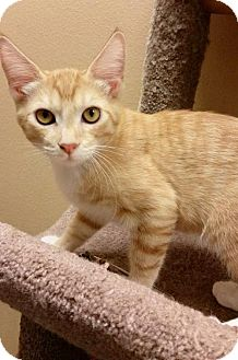 Domestic Shorthair Kitten for adoption in Chino Hills, California - Sigourney