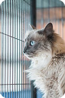 Siamese Cat for adoption in New Orleans, Louisiana - Juniper