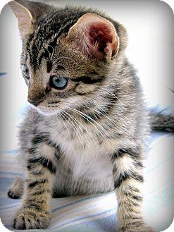 Domestic Shorthair Kitten for adoption in Summerville, South Carolina - Serena