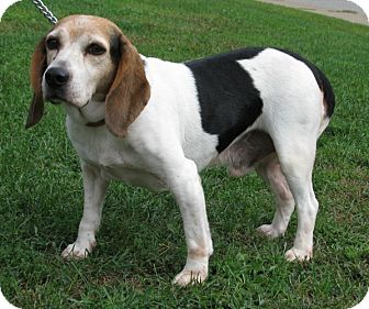 Beagle Dog for adoption in New Kensington, Pennsylvania - Moe