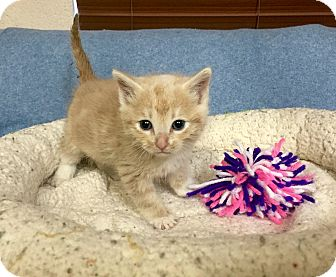 Domestic Shorthair Kitten for adoption in Chino Valley, Arizona - Caera