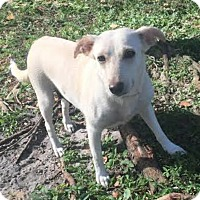Labrador Retriever Mix Dog for adoption in Boca Raton, Florida - Carolyn