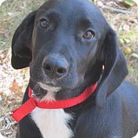 Adopt A Pet :: Astro - Harrisonburg, VA