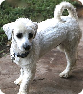 Maltese/Havanese Mix Dog for adoption in Bedminster, New Jersey - Chilton..meet me .