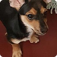 Adopt A Pet :: Monroe's Orion - Las Vegas, NV