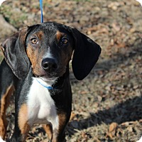 Adopt A Pet :: Dobby - Conway, AR