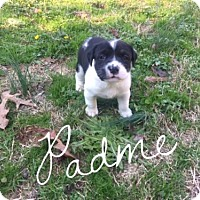 Adopt A Pet :: 5 Weeek Old Rottie Mix Puppies - Rowayton, CT