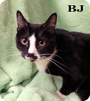 Domestic Shorthair Cat for adoption in Bentonville, Arkansas - BJ