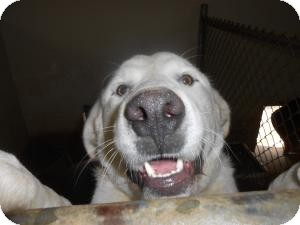 Great Pyrenees/Labrador Retriever Mix Dog for adoption in Sparta, New Jersey - Buck