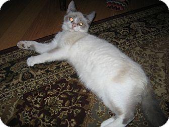 Siamese Cat for adoption in Indianapolis, Indiana - Bella