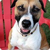 Adopt A Pet :: Nina - Pawling, NY