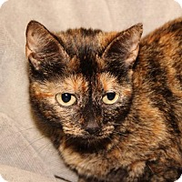 Domestic Mediumhair Cat for adoption in Helotes, Texas - Tabitha