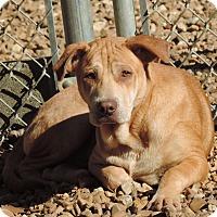 Shar Pei Mix Dog for adoption in Brookhaven, Mississippi - Krumpus - $25 adoption fee