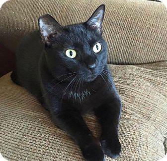 Domestic Shorthair Cat for adoption in Burlington, North Carolina - TINK